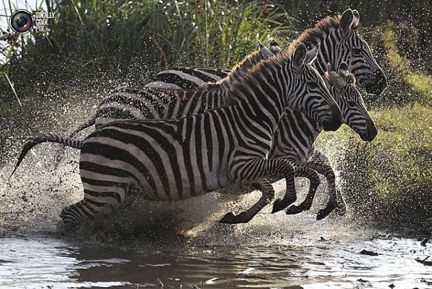 бегущие зебры