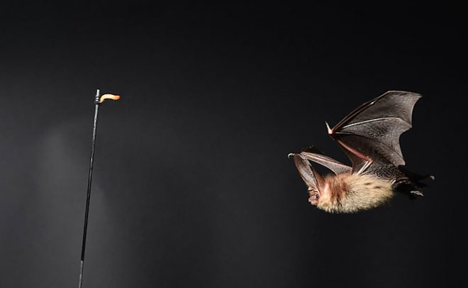 Летучие мыши помогают улучшить дизайн беспилотников