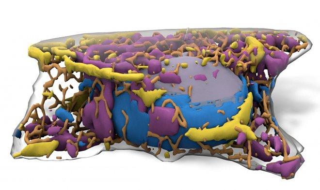 Ученые показали 3D-модель стволовой клетки
