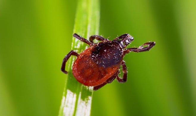 В США зафиксирована смерть от чрезвычайно редкого вируса, переносимого клещами