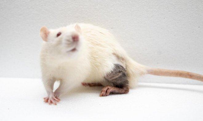 Мышь с трансплантатом