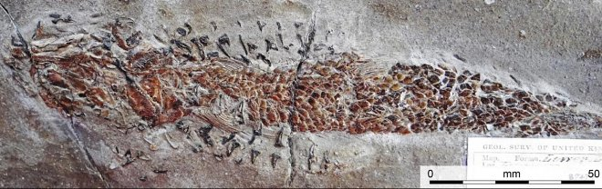 Дорсетский моллюск
