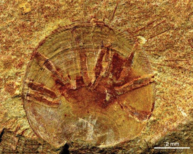 Neobolus wulongqingensis