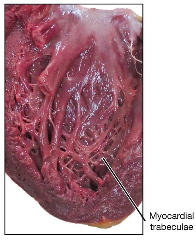 Ученые разгадали секрет сердечных складок, которые сотни лет ставили врачей втупик