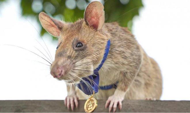 Крыса-сапер Магава