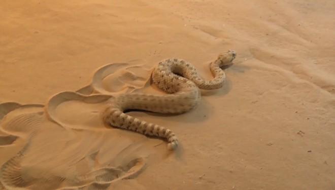 Угловая гремучая змея