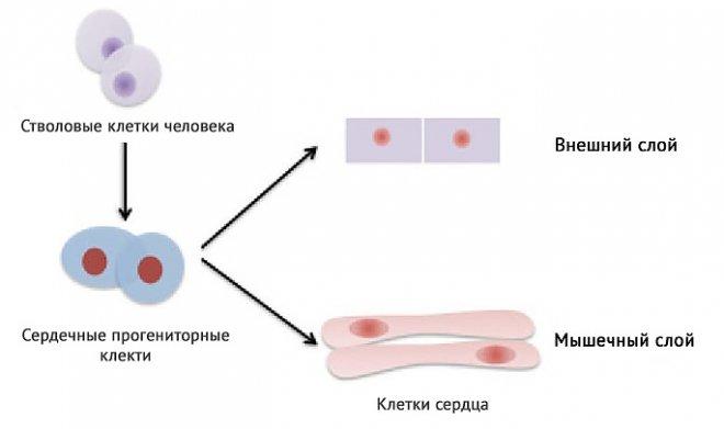 Восстановление клеток сердца