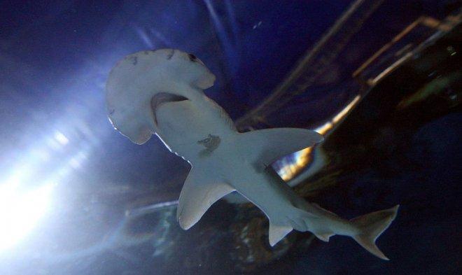 Акула-лопата