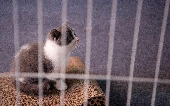 Клонированный кот
