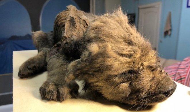 В Якутии нашли щенка неизвестного животного возрастом 18000 лет