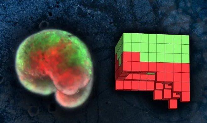 Ученые создали первых в истории роботов из живых клеток