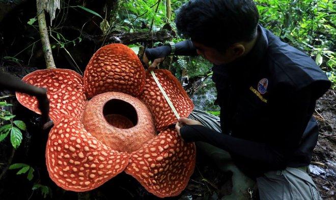 Самый большой цветок в мире пахнет смертью