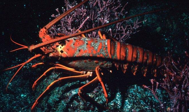 Маленькие колючие омары шумят так, что их можно услышать на расстоянии трех километров