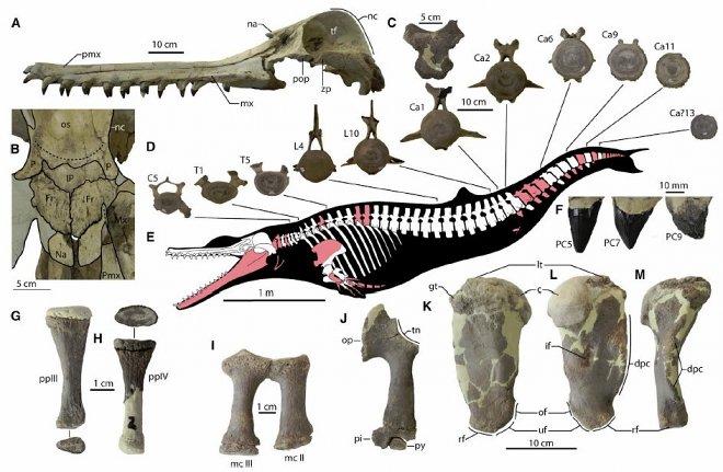 25 млн лет назад океаны планеты терроризировали гигантские дельфины-убийцы