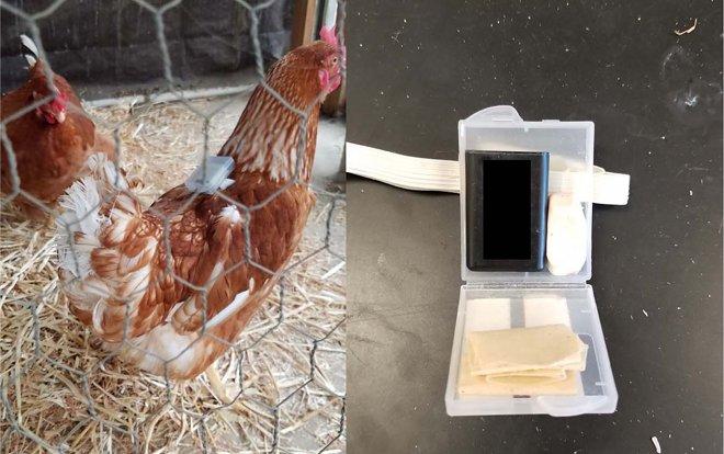 Fitbit для цыплят
