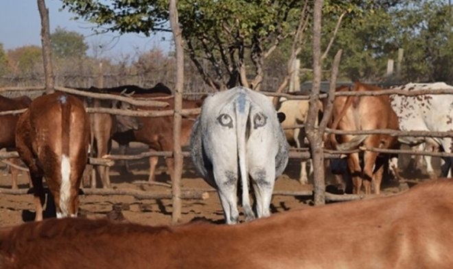 Раскрашенная корова