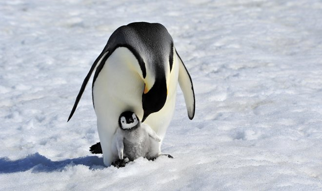 В Антарктиде найдены отлично сохранившиеся останки пингвинов – ровесников викингов