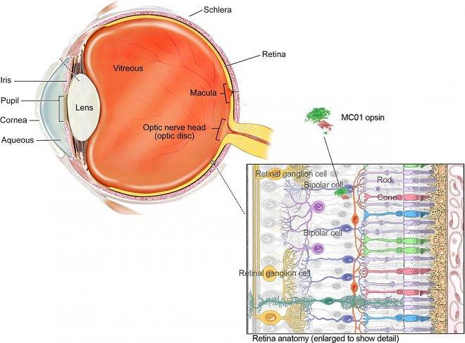 Прорыв: генная терапия вернула зрение полностью слепым мышам