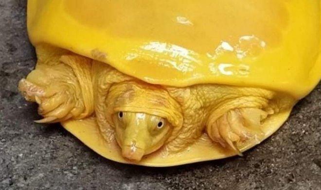 В Индии поймали удивительную ярко-желтую черепаху