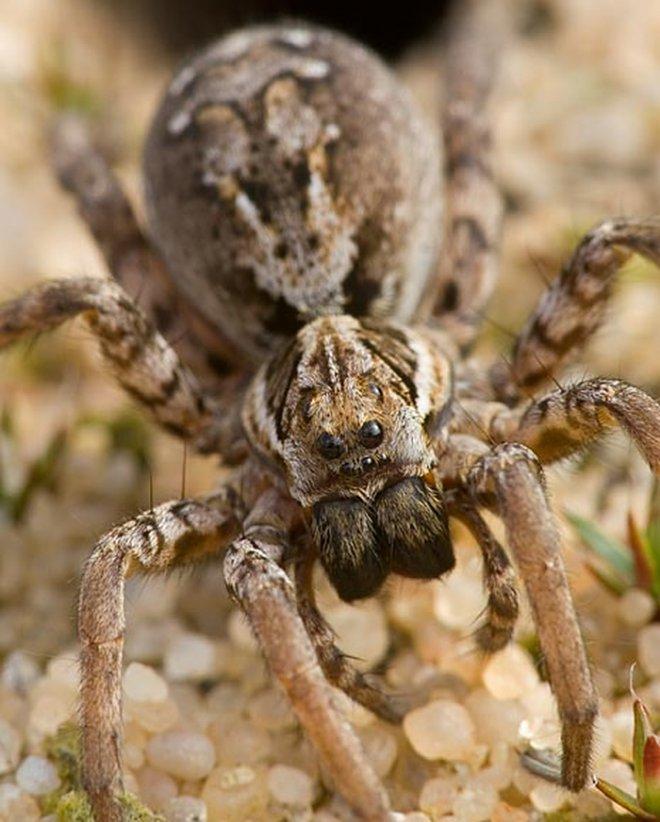 На британской военной базе нашли паука, который давно считался вымершим