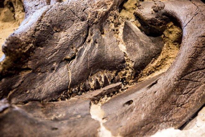 Уникальная окаменелость запечатлела смертельную схватку тираннозавра и трицератопса