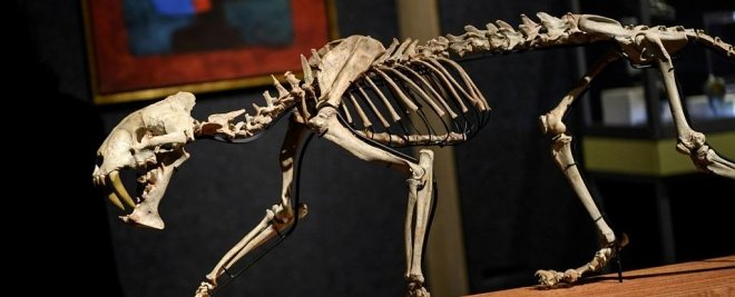 Скелет саблезубого тигра возрастом 37 миллионов лет отправляется на аукцион