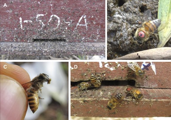 Азиатских пчел впервые заметили за использованием орудий труда