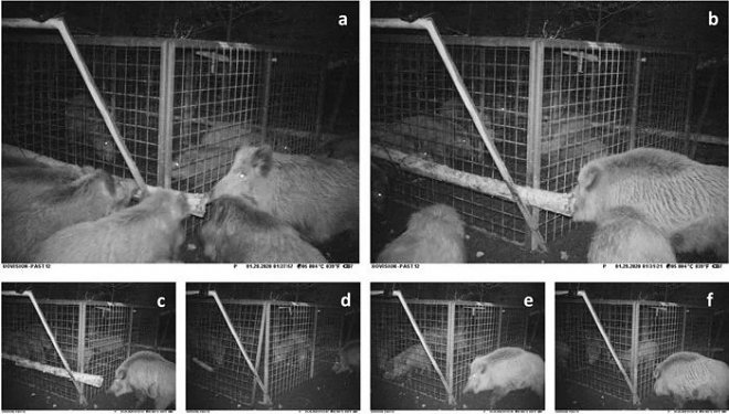 svinya 8ZKd Científicos checos registran por primera vez un comportamiento complejo de rescate en cerdos salvajes