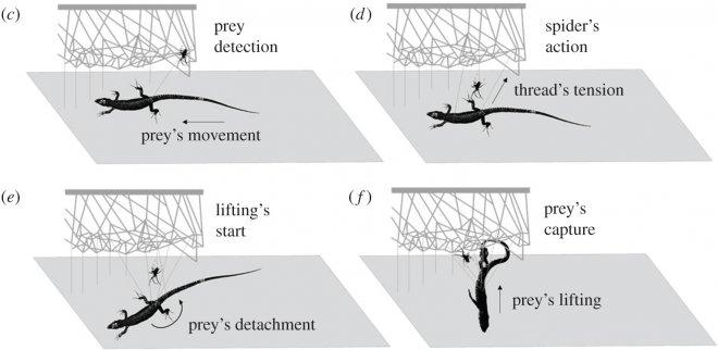 Пауки-тенетники научились строить настоящие катапульты для подъема тяжелой добычи
