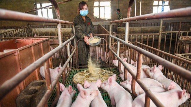 На фоне резкого падения спроса на смартфоны Huawei переключился на... свиней