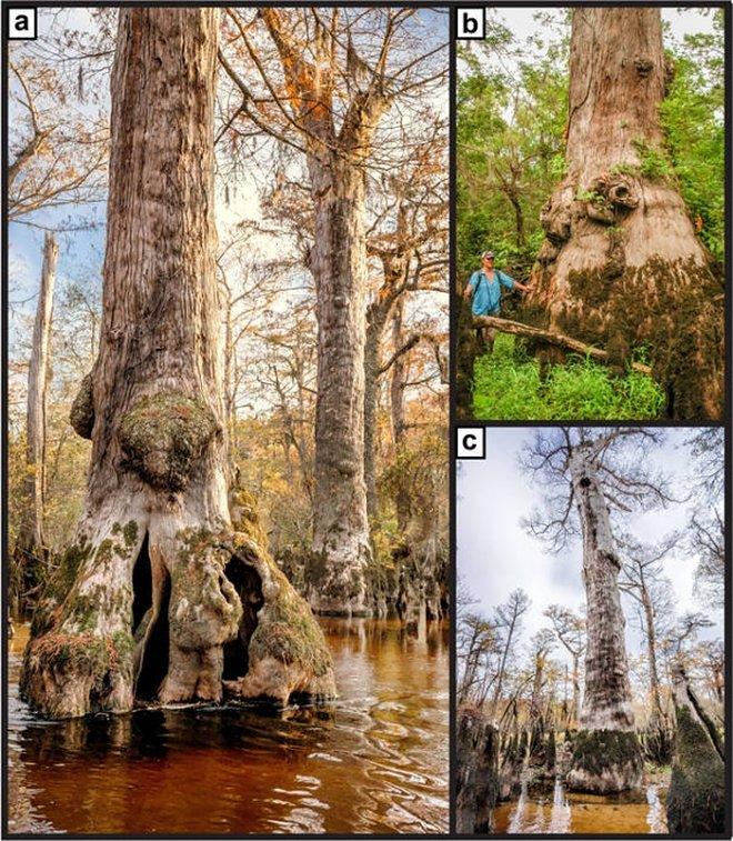 drevnejshij kiparis na zemle OHjR El árbol más antiguo del continente encontrado en América del Norte.