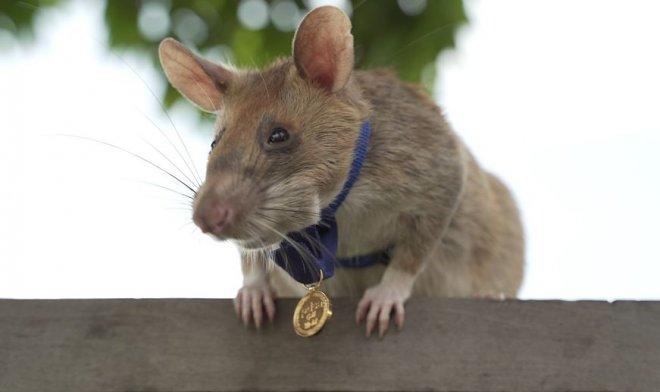 Крыс Магава